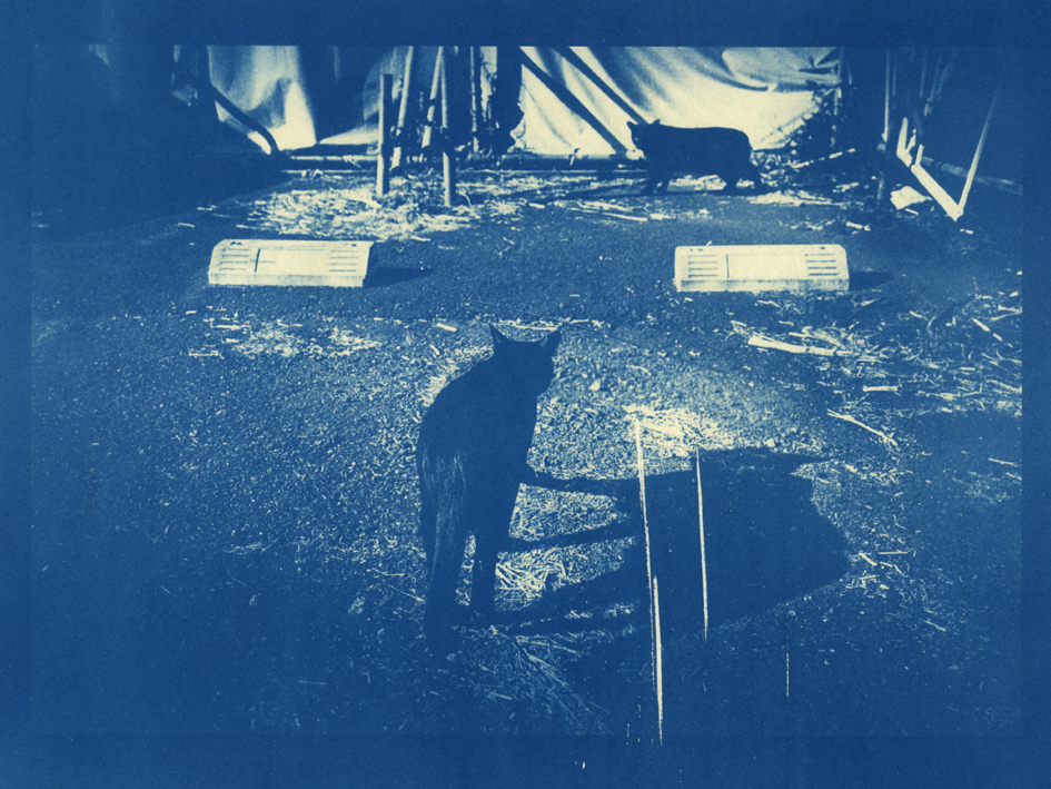 Cat Cyanotype
