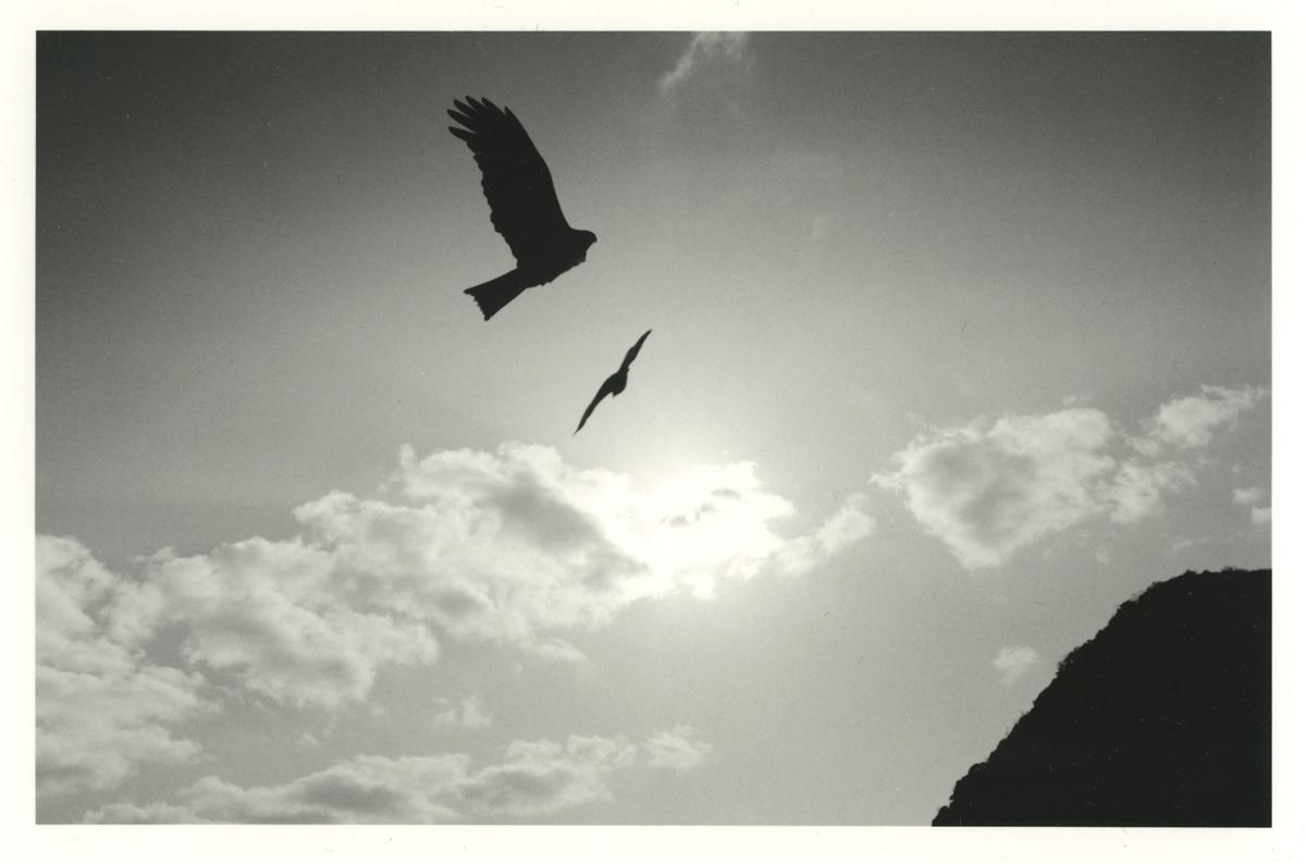tobi black kite