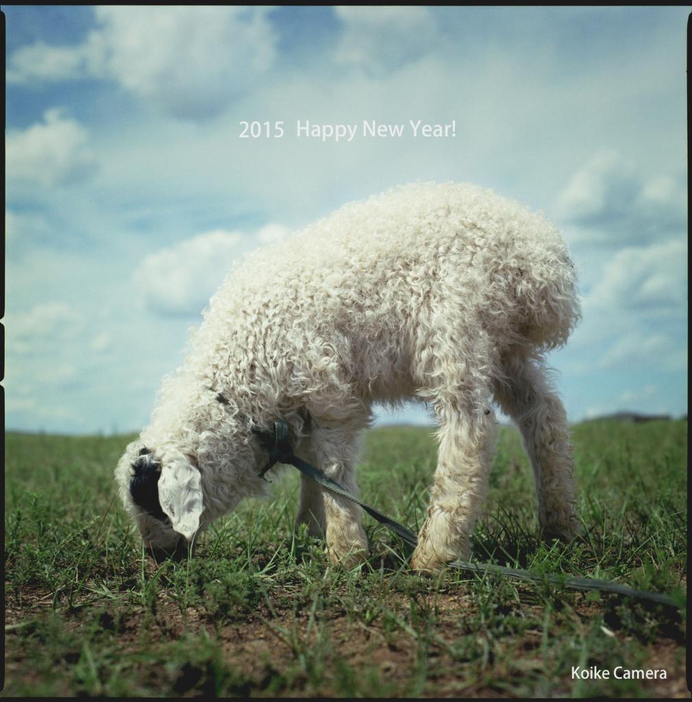 モンゴルで出会った子羊